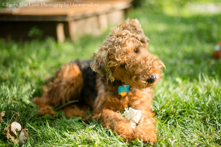 Gus - Welsh Terrier